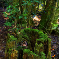Moss covered tree stump.