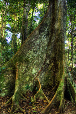 Thumbnail image of Well buttressed rain forest tree.