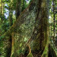 Well buttressed rain forest tree.