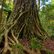 Strangler fig tree takes over a rain forest tree.