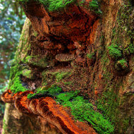 Moss covered ledge fungi slowly devouring a rain forest tree.
