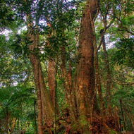 Tall timber in the rain forest.