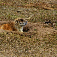 Alert prairie dog at Devils Tower National Monument.