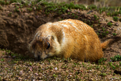 Thumbnail image ofPrairie dog at Devils Tower National Monument.