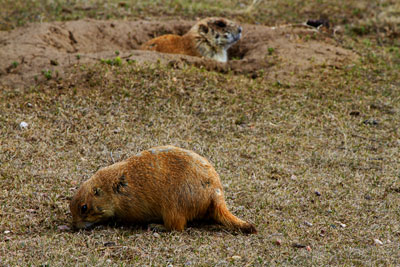 Thumbnail image of Watching out: prairie dogs at Devils Tower National...