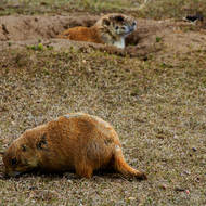 Watching out: prairie dogs at Devils Tower National Monument