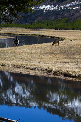 Thumbnail image of Mule deer grazing alongside the Madison River.