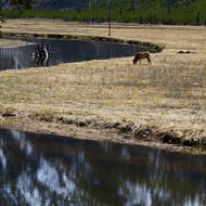 Mule deer grazing alongside the Madison River.
