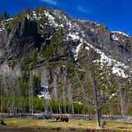 Buffalo grazing alongside the Firehole River.