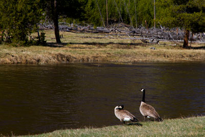 Thumbnail image ofGeese beside the Firehole River