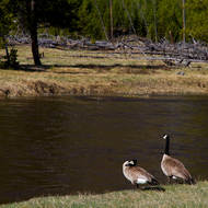Geese beside the Firehole River