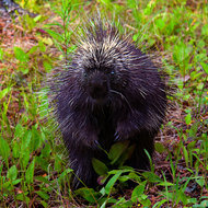 Inquisitive North American porcupine.