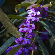 Purple Pea bush, hovea acutifolia.