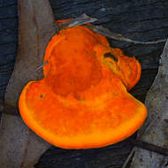 Bright orange bracket fungus, pycnoporus coccineus.