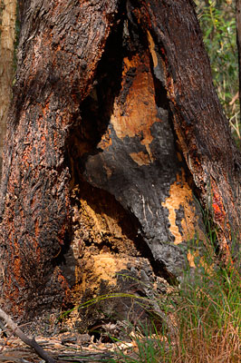 Thumbnail image ofNew growth around a eucalypt tree ravage by forest...