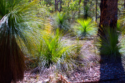 Thumbnail image ofGrasstree, xanthorrhoea, backlit by the morning...