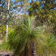 Grasstree, xanthorrhoea, thriving in dry, open woodland.