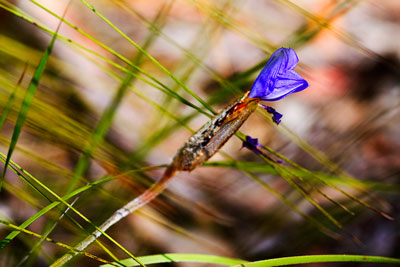 Thumbnail image of Small purple flower growing within a grasstree.