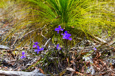 Thumbnail image of Purple flowers growing from the leaf litter around...
