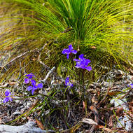 Purple flowers growing from the leaf litter around a grasstree.