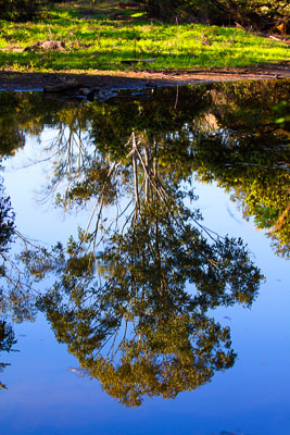 Thumbnail image of Gum tree reflected in the billabong, Three Moon...