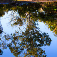 Gum tree reflected in the billabong, Three Moon Creek.
