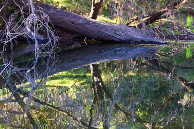 Thumbnail image of Fallen tree reflects in the billabong, Three Moon...