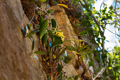 Thumbnail image of Wild orchids growing in King Orchid Crevice on...