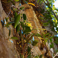 Wild orchids growing in King Orchid Crevice on the western side of Cania Gorge.