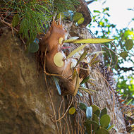 Self-sown staghorn ferns, platycerium, growing in King Orchid Crevice on the western side of Cania Gorge.