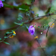 Small purple flower in the dry rainforest.