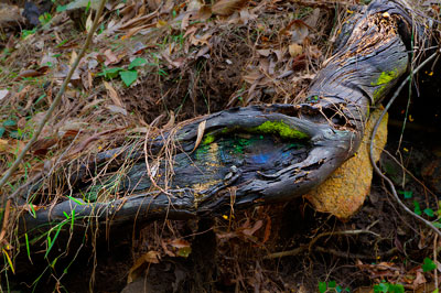 Thumbnail image ofExposed root with moss and opalescent fungus.