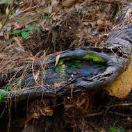 Exposed root with moss and opalescent fungus.
