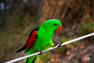 Thumbnail image ofSupper in hand: Red-winged Parrot, aprosmictus...