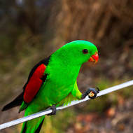 Supper in hand: Red-winged Parrot, aprosmictus erythropterus, adult male.