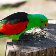 Stumped: Red-winged Parrot, aprosmictus erythropterus, adult male.