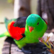 Red-winged Parrot, aprosmictus erythropterus, adult male.