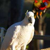 Posing for the photo: Sulphur-crested Cockatoo, cacatua galerita.