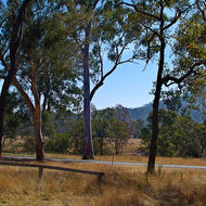 Typical Australian roadside scene; gum trees and dry grass.