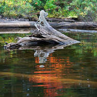 Submerged log and reflected fall colors.
