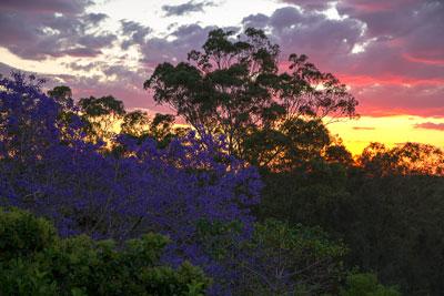 Thumbnail image ofSpringtime Jacaranda tree in flower.