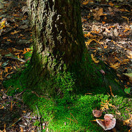 The moss grows on the north side of the tree.