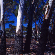 Gum trees shedding their bark to make their own root protecting mulch.