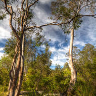 Gum trees along the Logan River.
