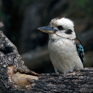 Kookaburra looking for supper.