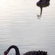Black Swans looking for an early morning feed.
