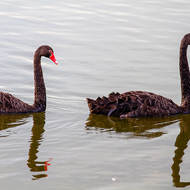 Black Swans: follow the leader.