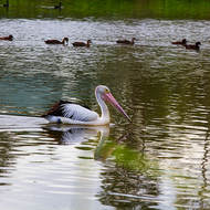 It's a race, Pelican vs Ducks.