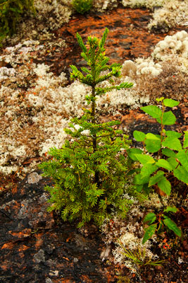 Thumbnail image ofSmall tree growing in seemingly impossible conditions.