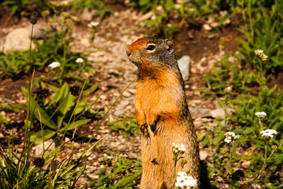 Thumbnail image ofLocal resident ground squirrel at Logan Pass 'will...